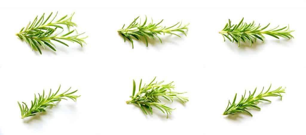 rosemary for essential oil