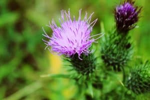 Milk thistle for a healthy liver