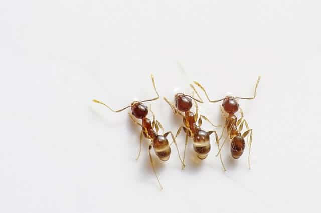 get rid of ants like these with a non toxic homemade ant killer